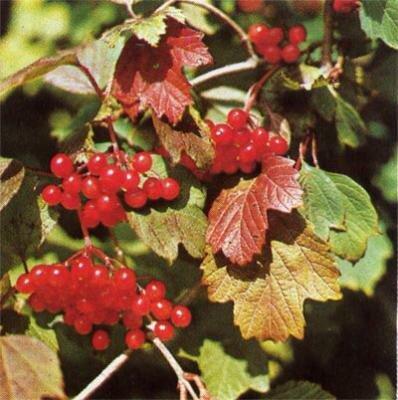 ягоды и кора калины - кровоостанавливающие средства